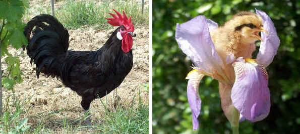 Italian breeds of chickens