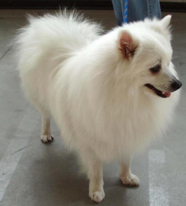 Italian breeds of dogs volpino italiano for Volpino italiano