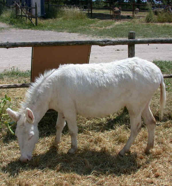 Italian breeds of donkeys the donkey of asinara for Burro blanco