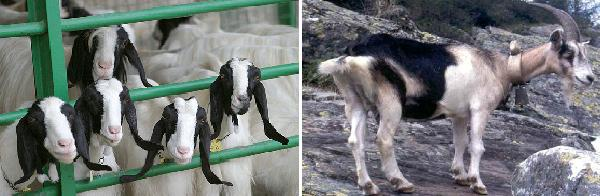 Italian breeds of goats