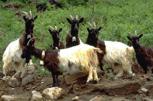 italian breeds of goats  vallesana